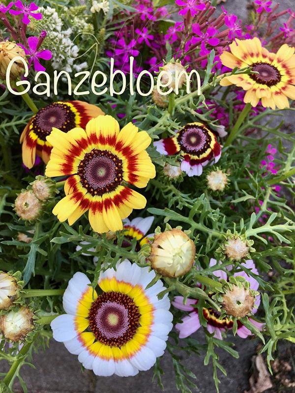 Ganzebloem