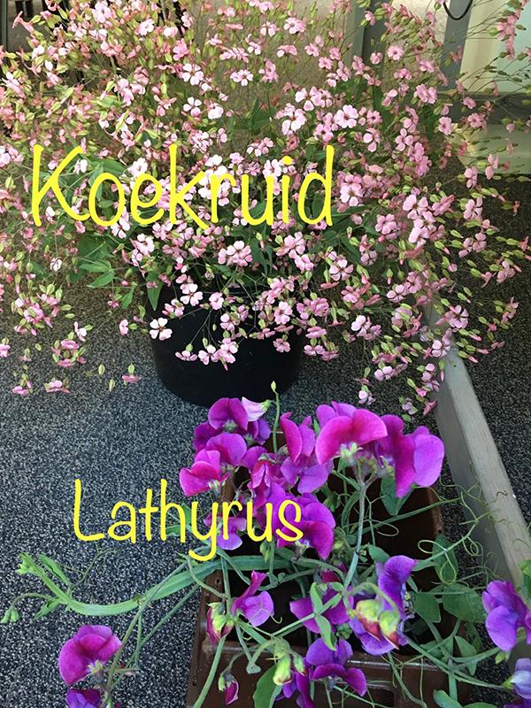 Koekruid-en-Lathyrus